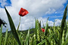 Poppy flower and grass against the sky in spring in Val Trebbia, Royalty Free Stock Photo