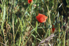 Poppy flower in the grass Royalty Free Stock Photo