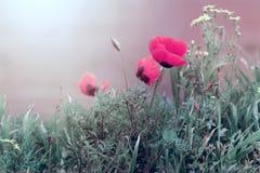 Poppy flower in grass Stock Photography