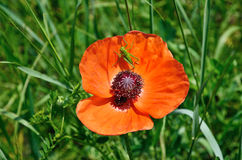 Poppy flower with a grasshopper Stock Images