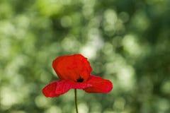 Poppy flower on green background. Red poppy flower on blurred green background Stock Photography