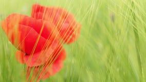 Poppy flower in green barley field stock video footage