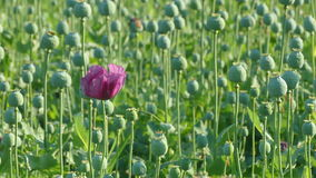 Poppy flower and green cocoons stock video footage