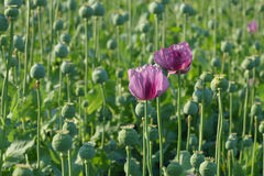 Poppy flower and green cocoons Stock Photography