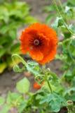 Poppy flower. Poppy flower on green field Royalty Free Stock Photos