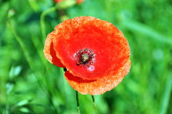 Poppy flower in green field Royalty Free Stock Photos