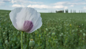 Poppy flower in green field. Detail of blooming poppy. Blurred field with poppy heads on background stock photos