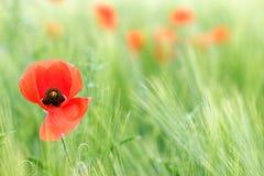 Poppy flower green field spring Stock Photography