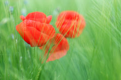 Poppy flower and green grass spring Royalty Free Stock Photos
