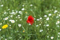 A poppy flower in green meadow Stock Photography