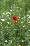 A poppy flower in green meadow Royalty Free Stock Photos