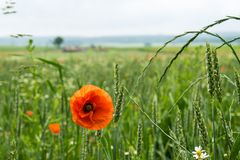 A blur poppy flower in green background. A poppy flower in a green rural background blur field Royalty Free Stock Photography
