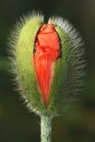 Poppy Flower Head Imagem de Stock Royalty Free