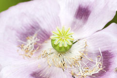 Poppy Flower Head Royalty Free Stock Photography