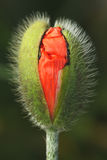 Poppy flower head. Macro shot. Shallow depth of field Royalty Free Stock Image