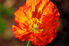 Corn poppy flower head bright orange Stock Image