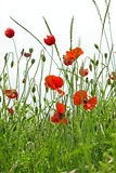 Poppy flower. In high green grass royalty free stock image