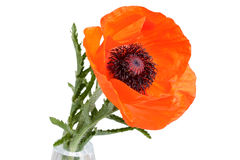 Poppy flower isolated Stock Image
