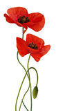 Poppy flower isolated royalty free stock photography