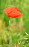 Poppy flower Stock Photography