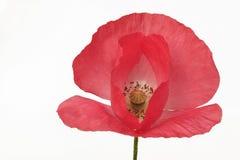 Poppy flower isolated Stock Photography