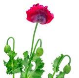 Poppy flower isolated on white background! Royalty Free Stock Photography