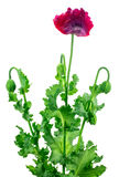 Poppy flower isolated on white background Royalty Free Stock Images