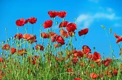 Poppy, Flower, Klatschmohn, Blossom Stock Images