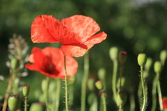 Poppy flower. Lit by the sun on a summer day Royalty Free Stock Photos