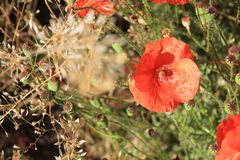 Poppy flower. Lit by the sun on a summer day Royalty Free Stock Image