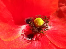 Poppy flower Royalty Free Stock Image