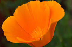 Poppy flower macro Royalty Free Stock Images