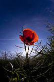Poppy flower in meadow Stock Photos