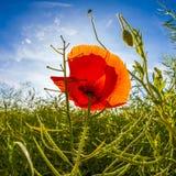 Poppy flower in meadow Stock Photo