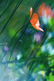 Poppy flower. A poppy flower in the meadow Royalty Free Stock Image