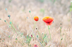 Poppy flower in a meadow Royalty Free Stock Photography
