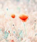 Poppy flower in a meadow Stock Photos