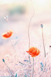 Poppy flower in a meadow Stock Photo