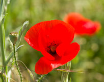 Poppy flower on meadow Royalty Free Stock Photography