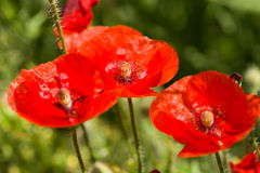 Poppy flower on meadow Stock Photography