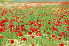 Poppy flower meadow landscape Stock Photo