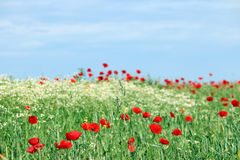 Poppy flower meadow landscape Stock Images