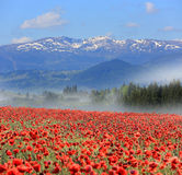 Poppy flower meadow in mountains Stock Images