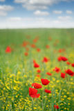 Poppy flower meadow Royalty Free Stock Image