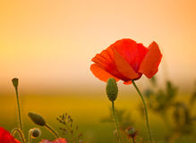 Poppy flower on the meadow Royalty Free Stock Images