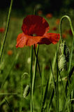Poppy flower in the morning. Poppy in the green grass Royalty Free Stock Image