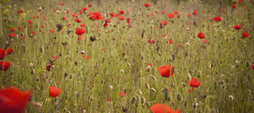 Poppy flower. Most beautiful and gentle wild flower in the countryside stock images