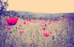 Poppy flower. Most beautiful and gentle wild flower in the countryside stock image
