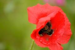 Poppy Flower na regen Royalty-vrije Stock Afbeeldingen