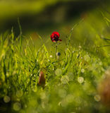 Poppy flower in nature Stock Images